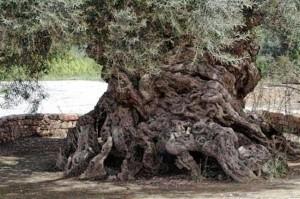Η αρχαιότερη ελιά στη γη