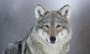 Ένας λύκος αισθηματίας ~ Αργύρης Χιόνης