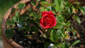 Το λουλούδι που μαράθηκε… για το καλό του